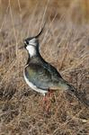 Northern Lapwing (Vanellus vanellus)